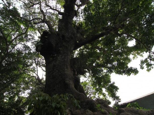 Akagi Tree