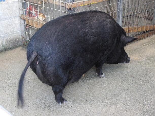 ミニ黒豚「ともちゃん」